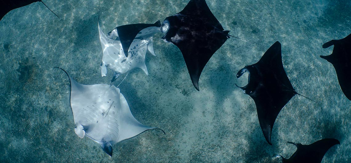 many manta rays swimming