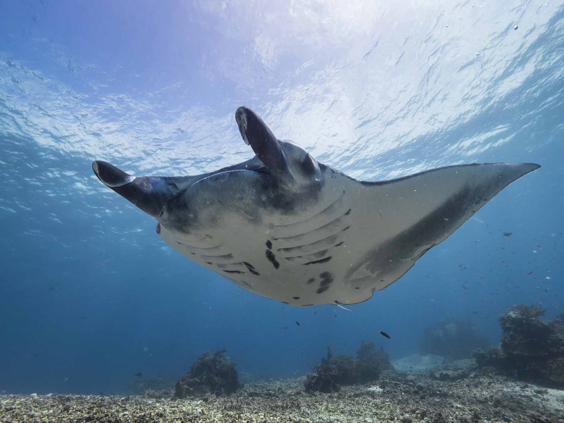 Manta Ray Belly
