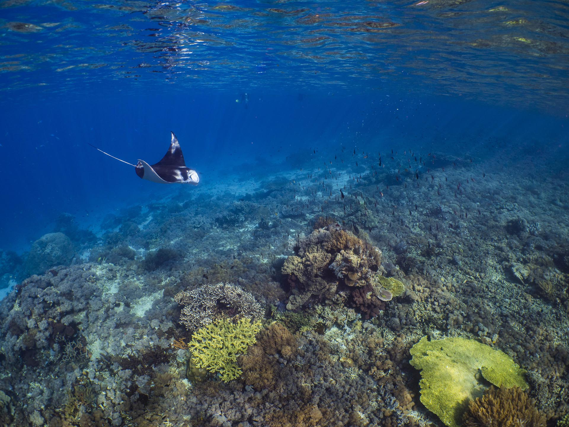 hard coral reef with manta swimming through blue water