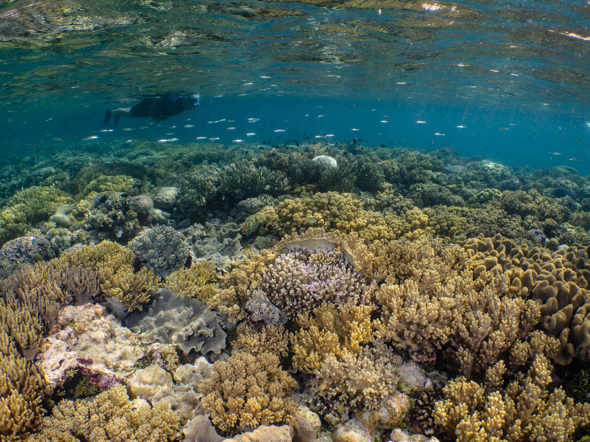 snorkeler floating above pristine coral reef