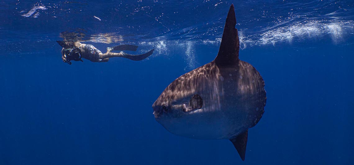 snorkeler swimming and filming mola mola on the surface
