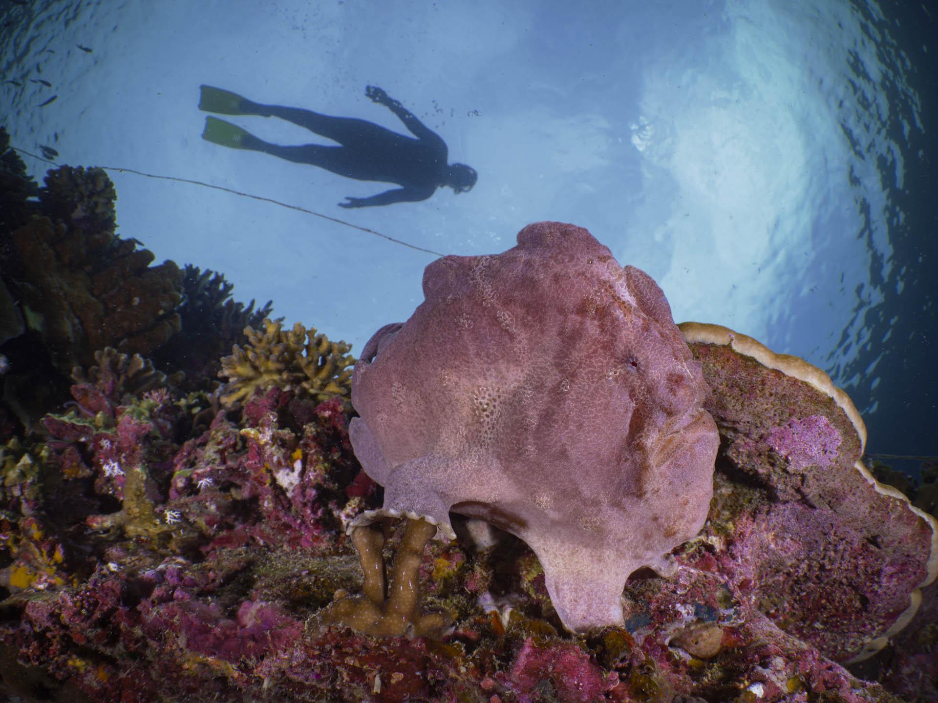 snorkeler floating above pink frog fish