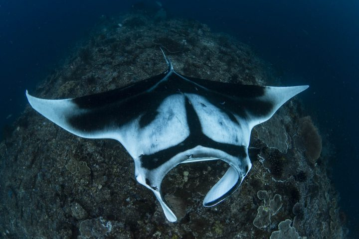oceanic manta on cleaning station