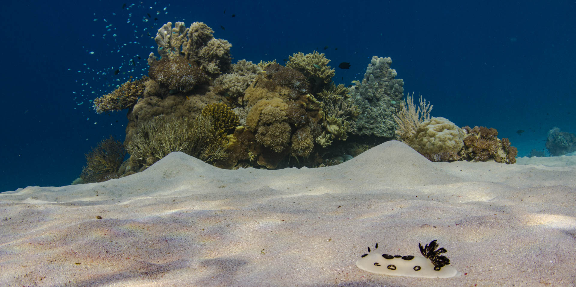 white nudibranch crawling over white sand with reef behind