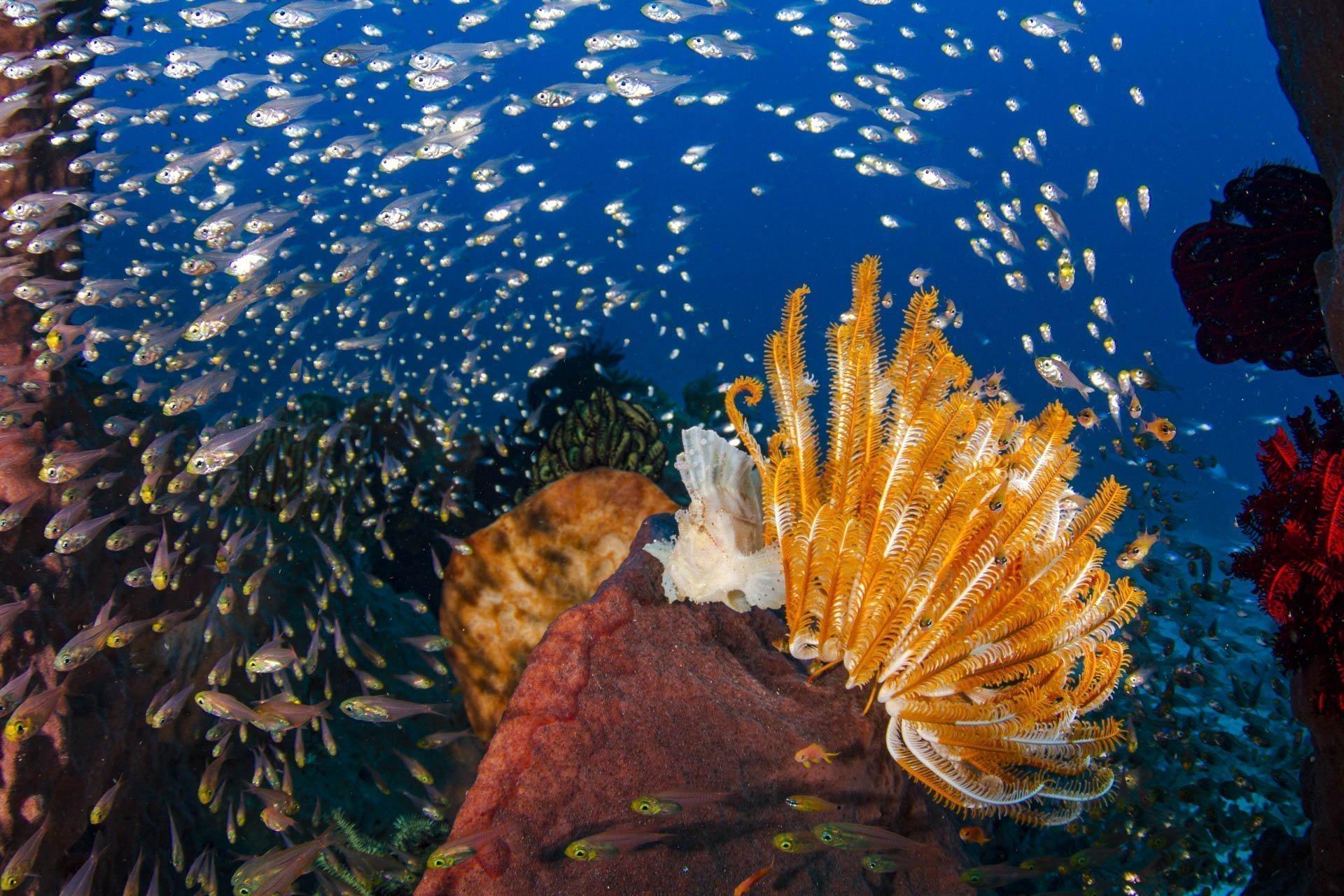 glassy sweeper fish swimming over orange crinoid and leaf scorpion fish
