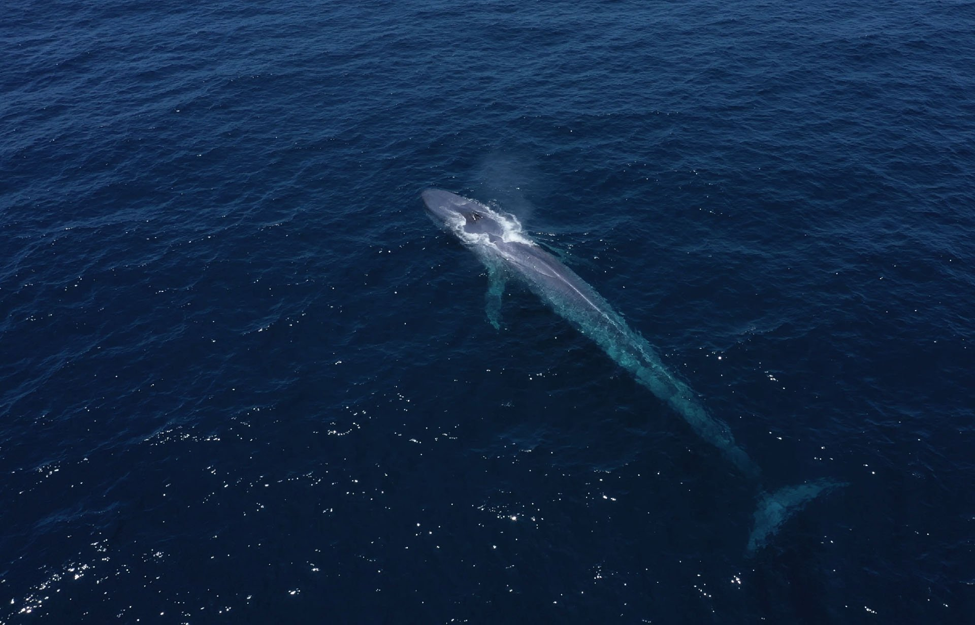 Aerial view of Blue Whale