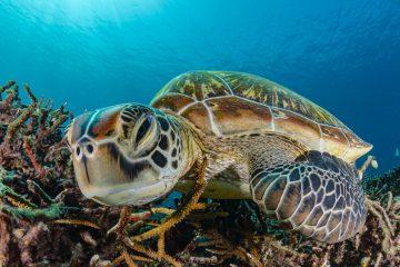 green sea turtle sleeping on reef