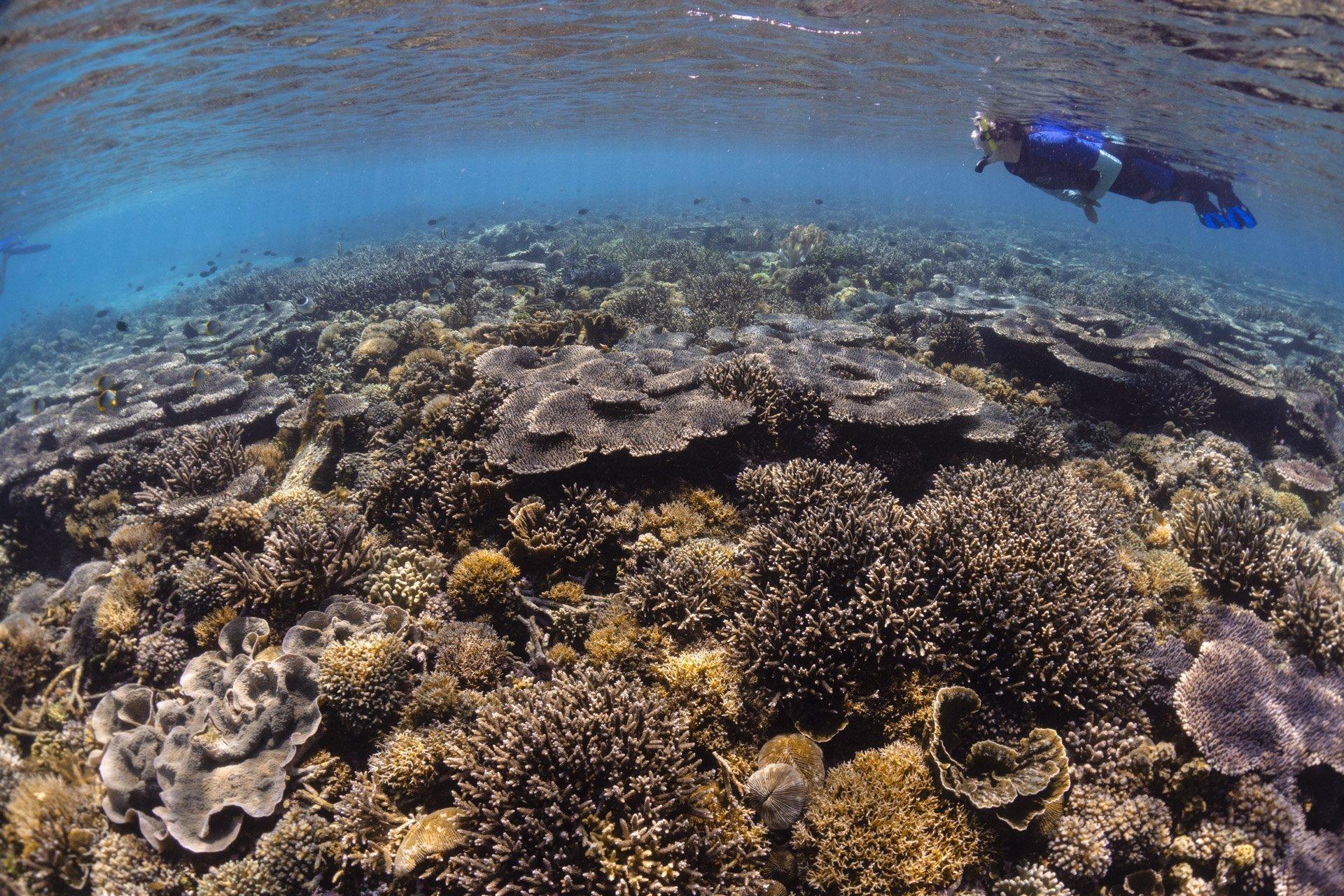 Snorkeler floating over reef in Komodo National Park