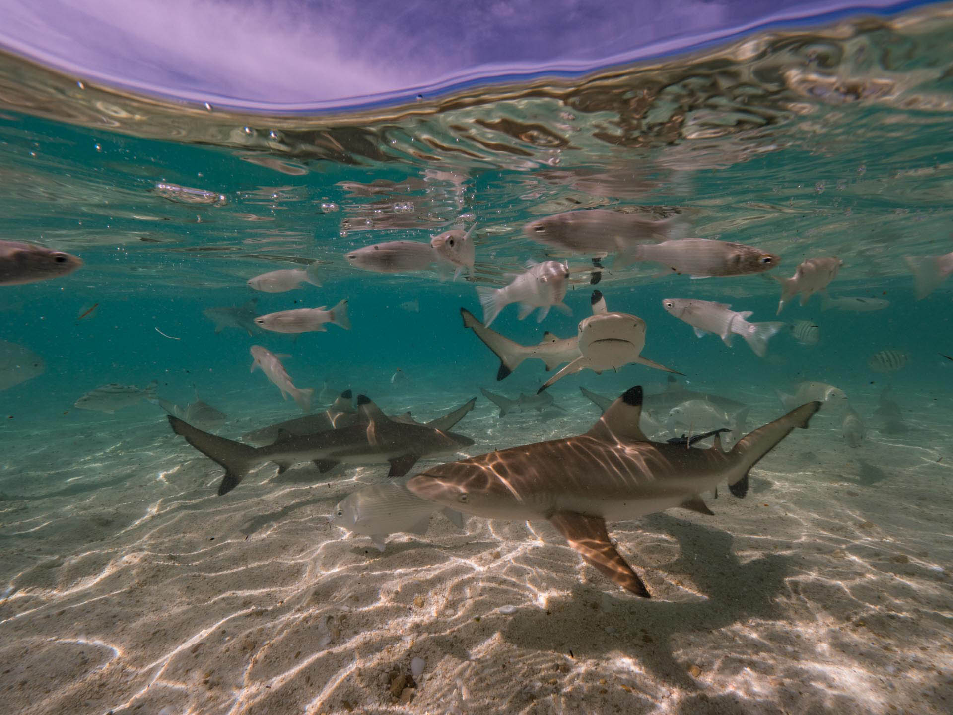 Baby black tip reefs sharks in the shallows