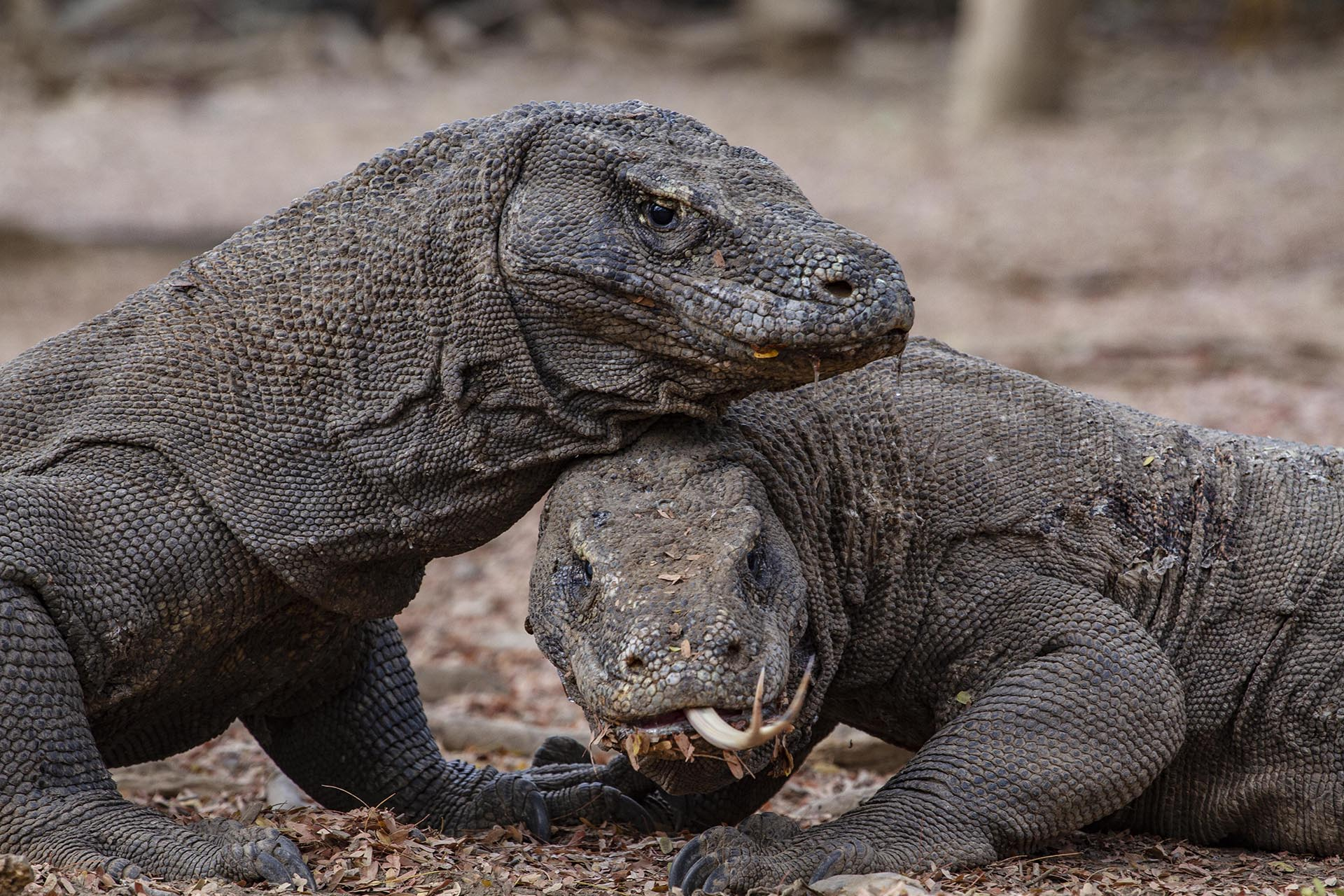 two komodo dragons lying on top of each other