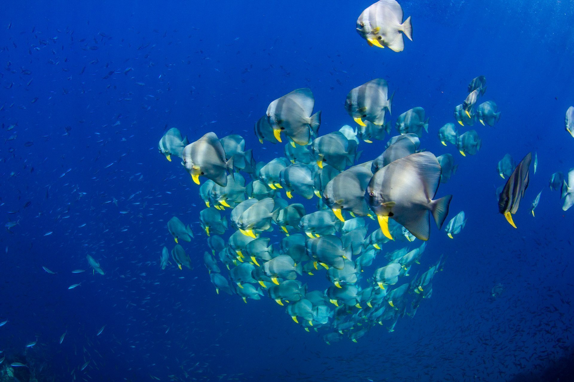 large school of batfish in blue water