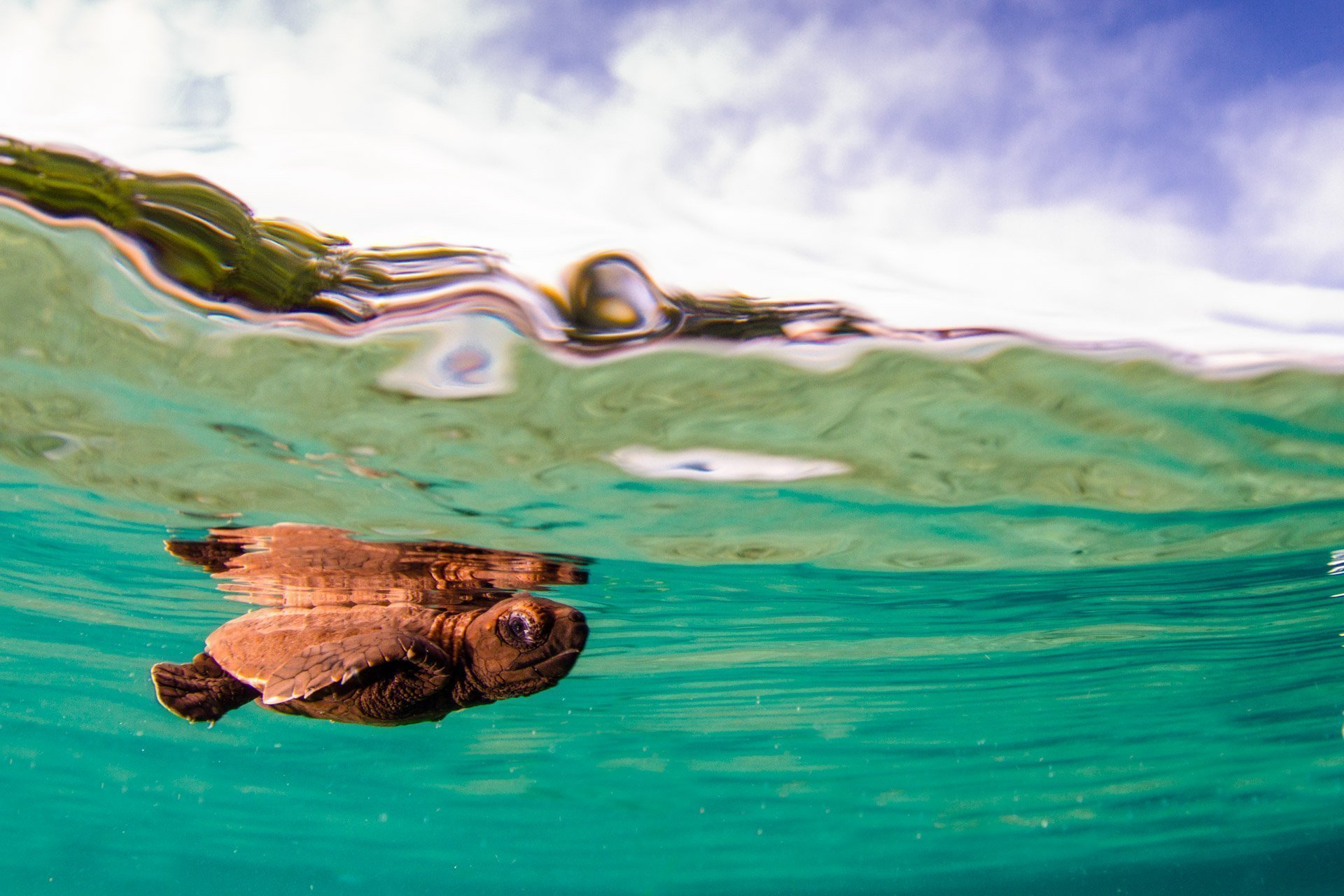Baby turtle on the surface