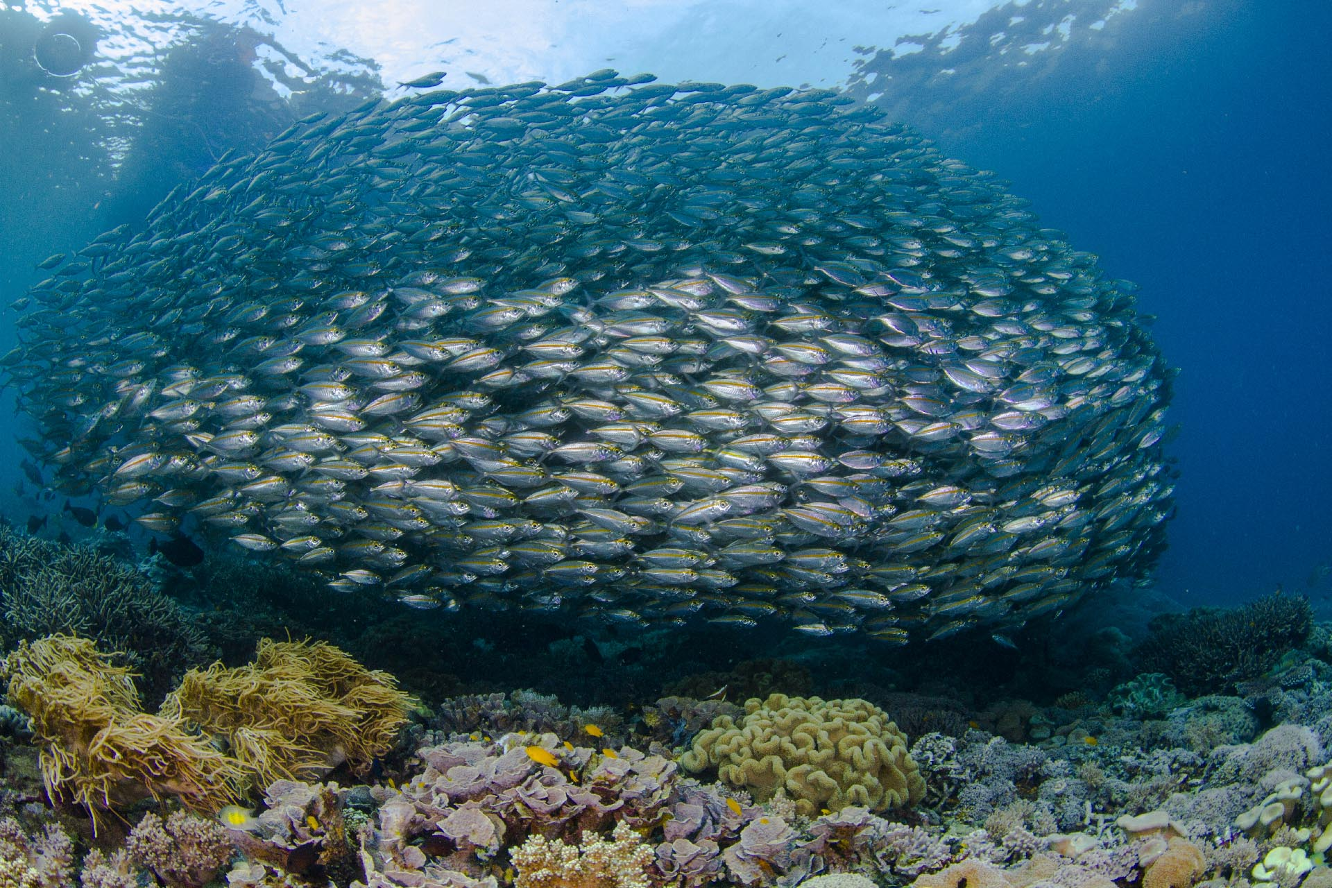 Large school of fish over coral reef