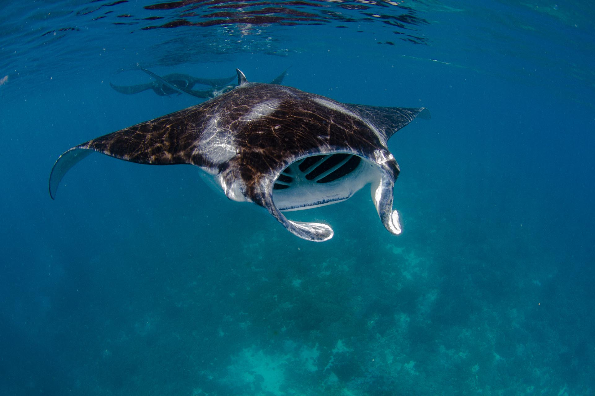 manta ray feeding on the surface