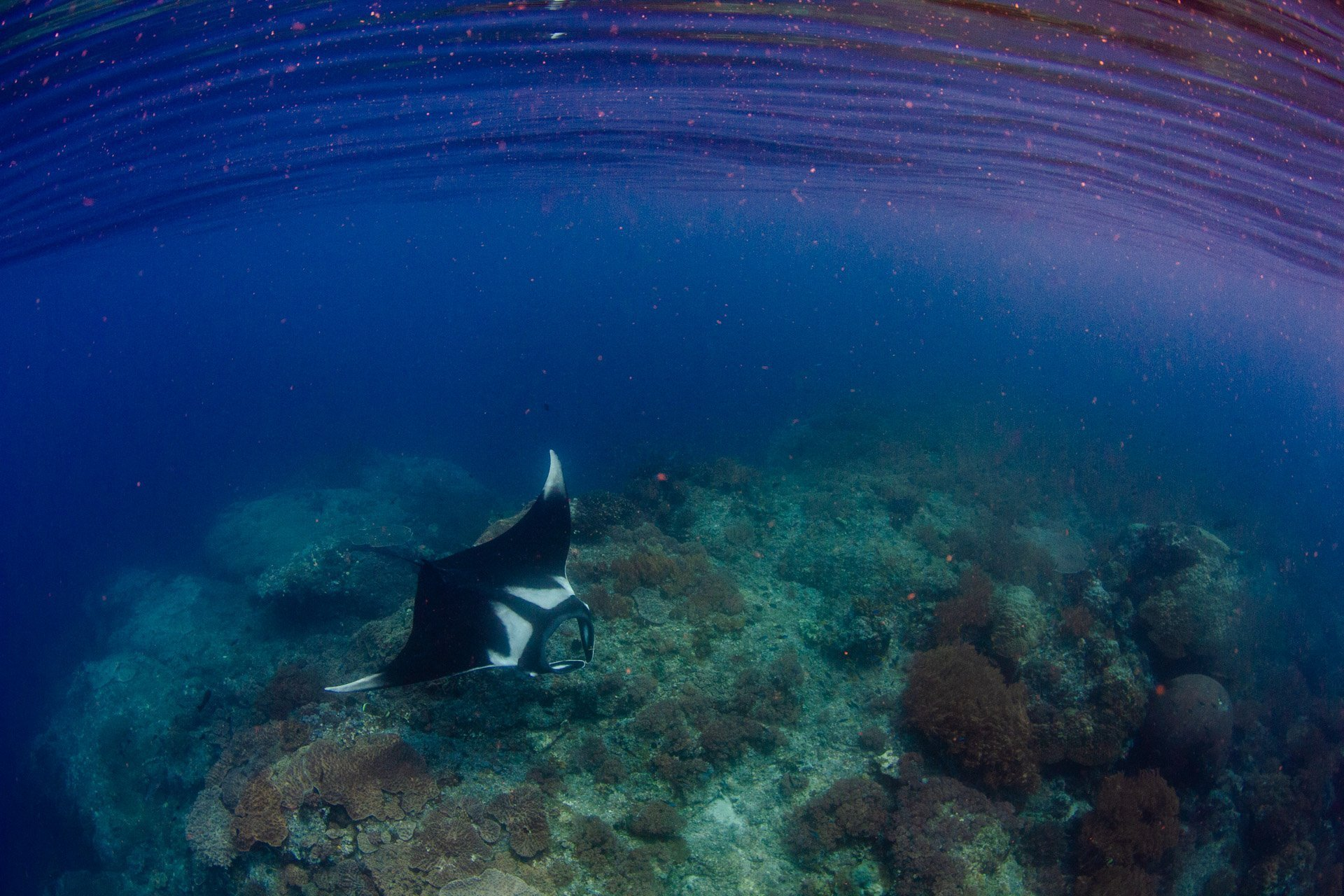 Large oceanic manta on coral reef