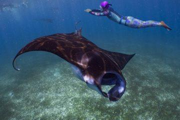 snorkeler above manta ray