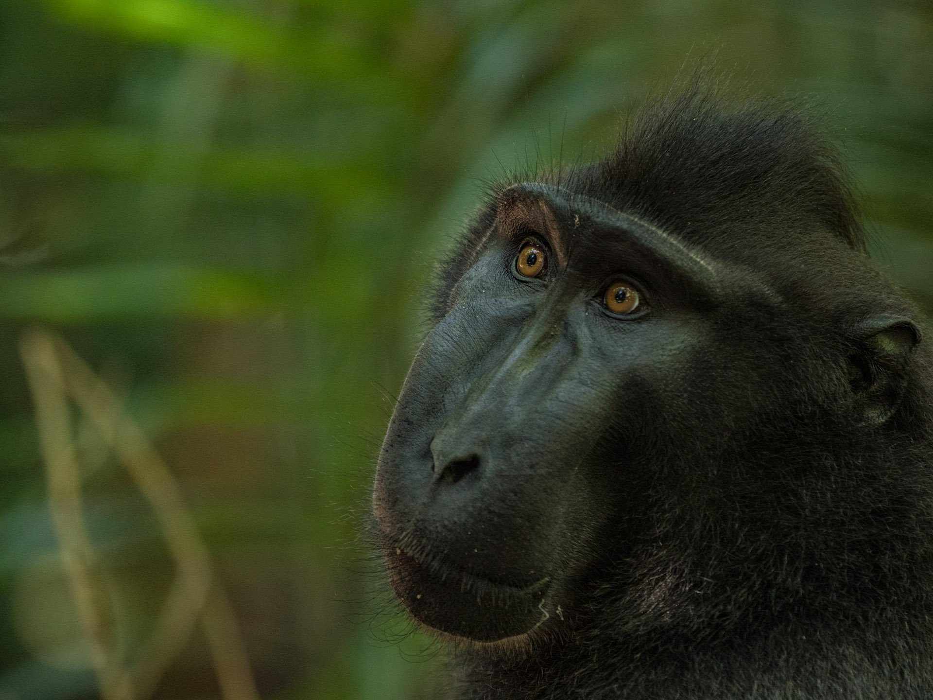 Black crested macaque monkey