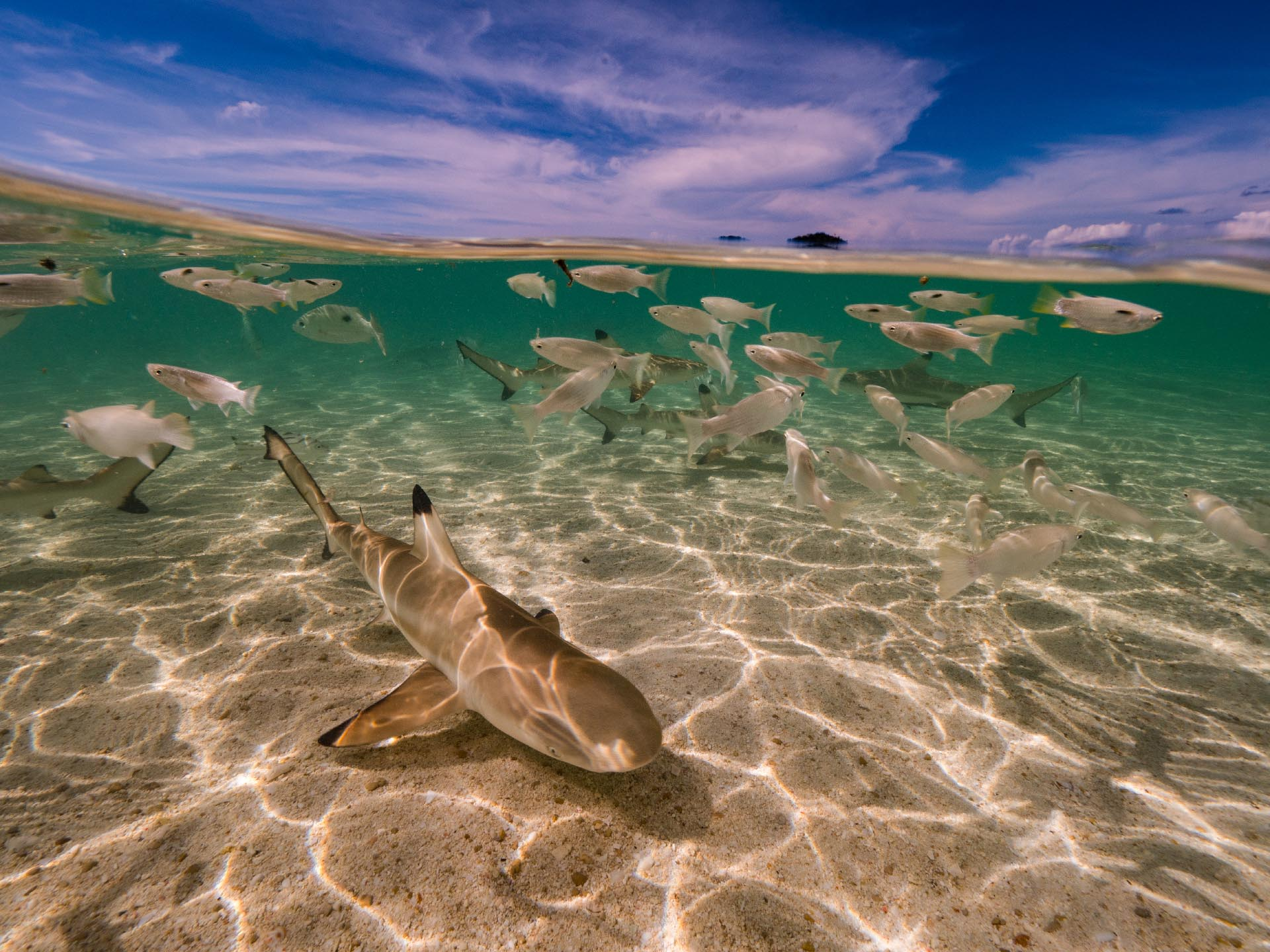 baby black tip reef sharks in the shallows