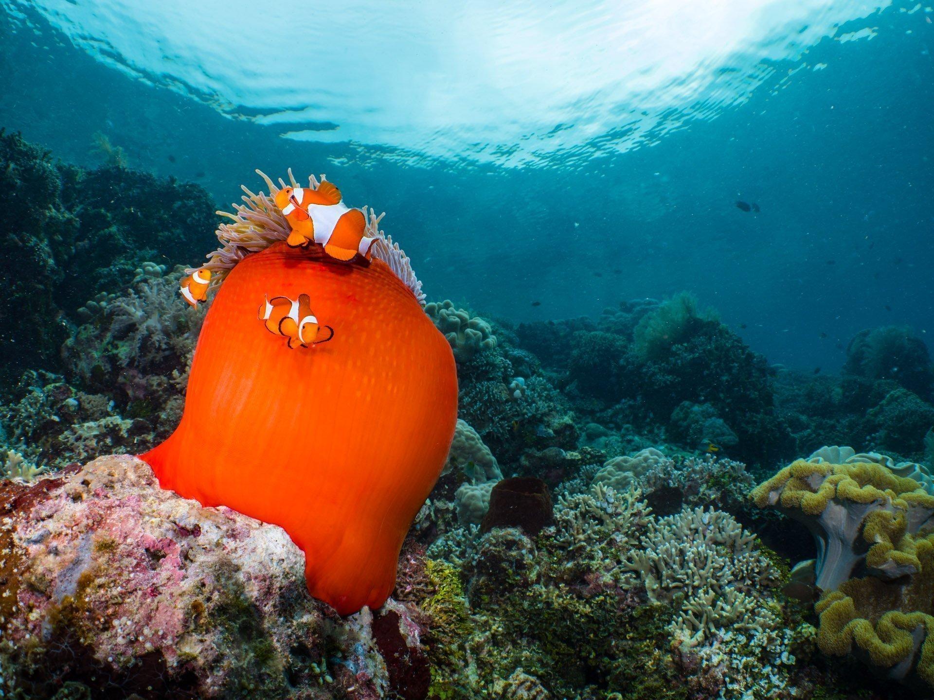Anemone fish hiding in orange anemonie