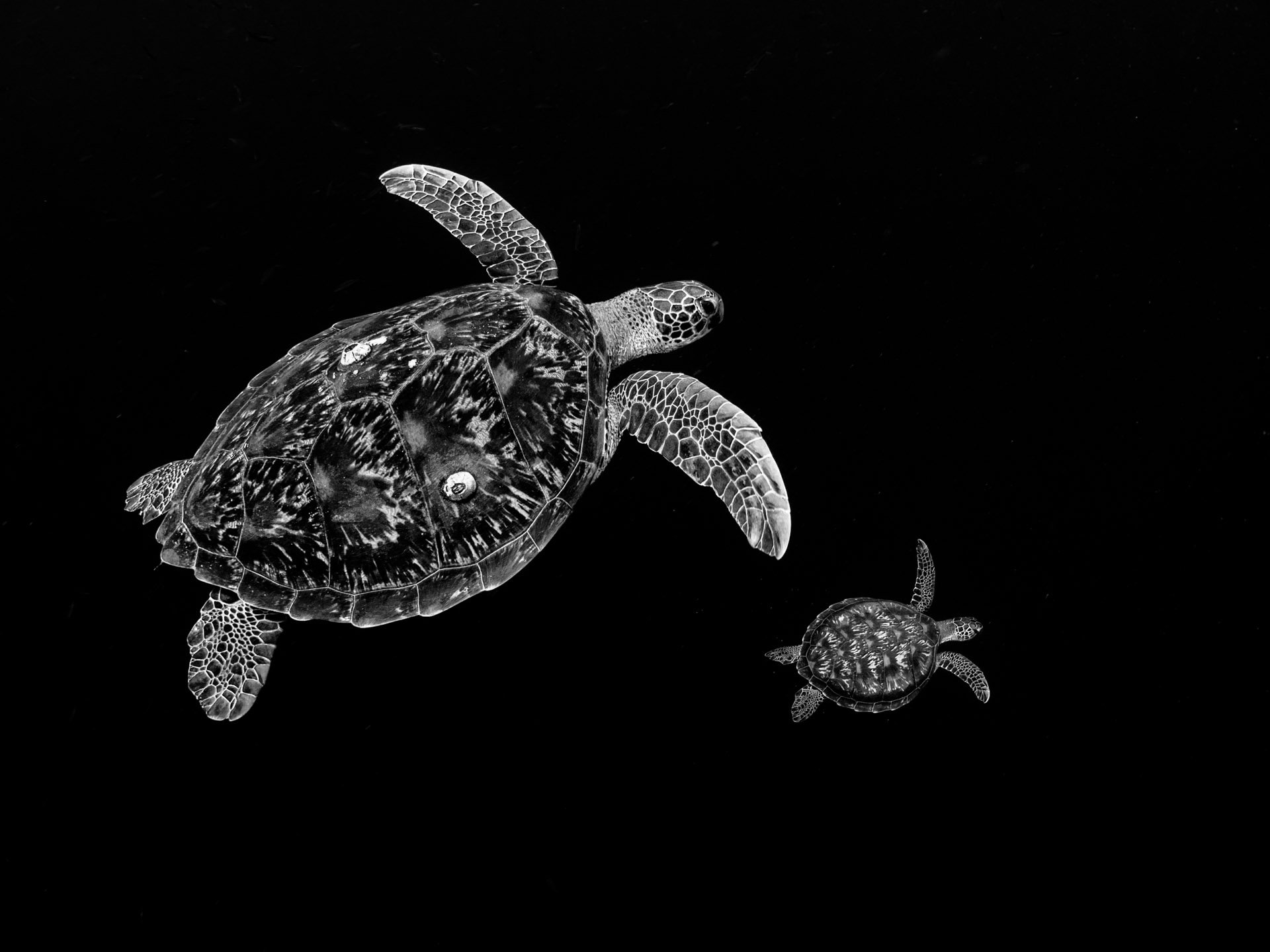 Two green sea turtles with black background