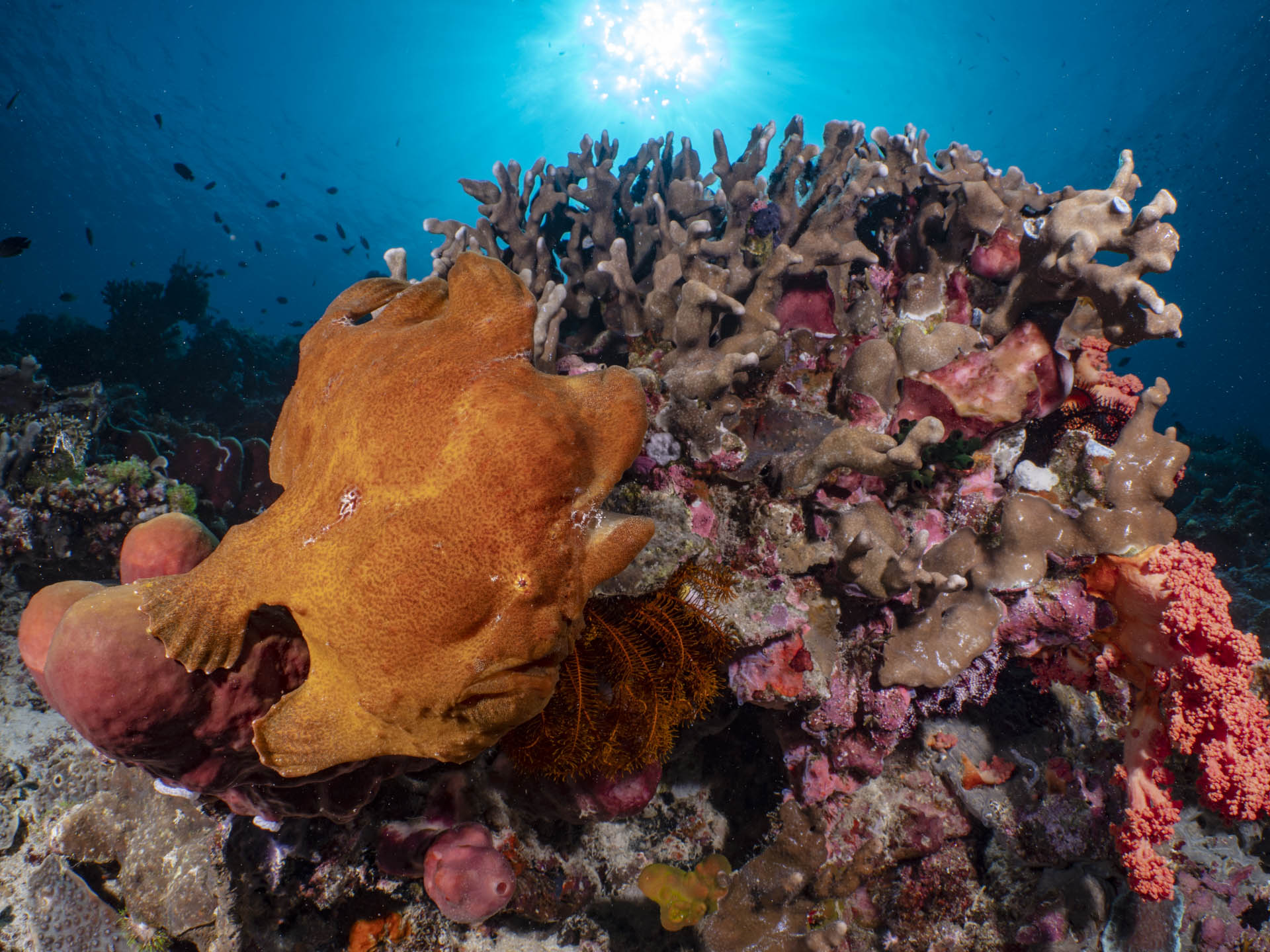 Giant orange frog fish with sun behind