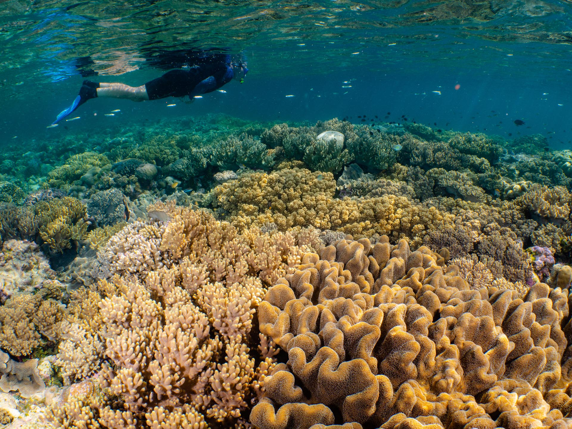 Pristine shallow coral reef with snorkeler