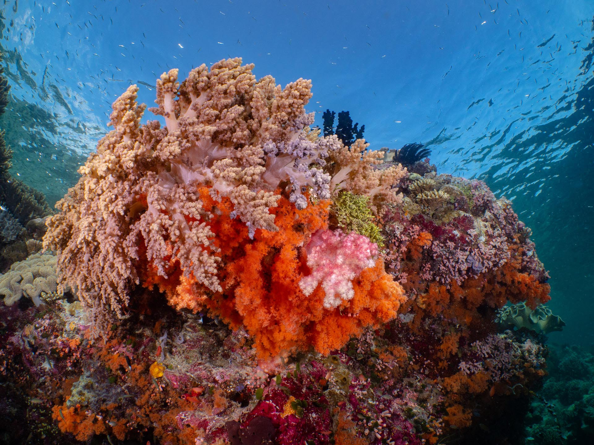 beautiful soft coral in Wakatobi