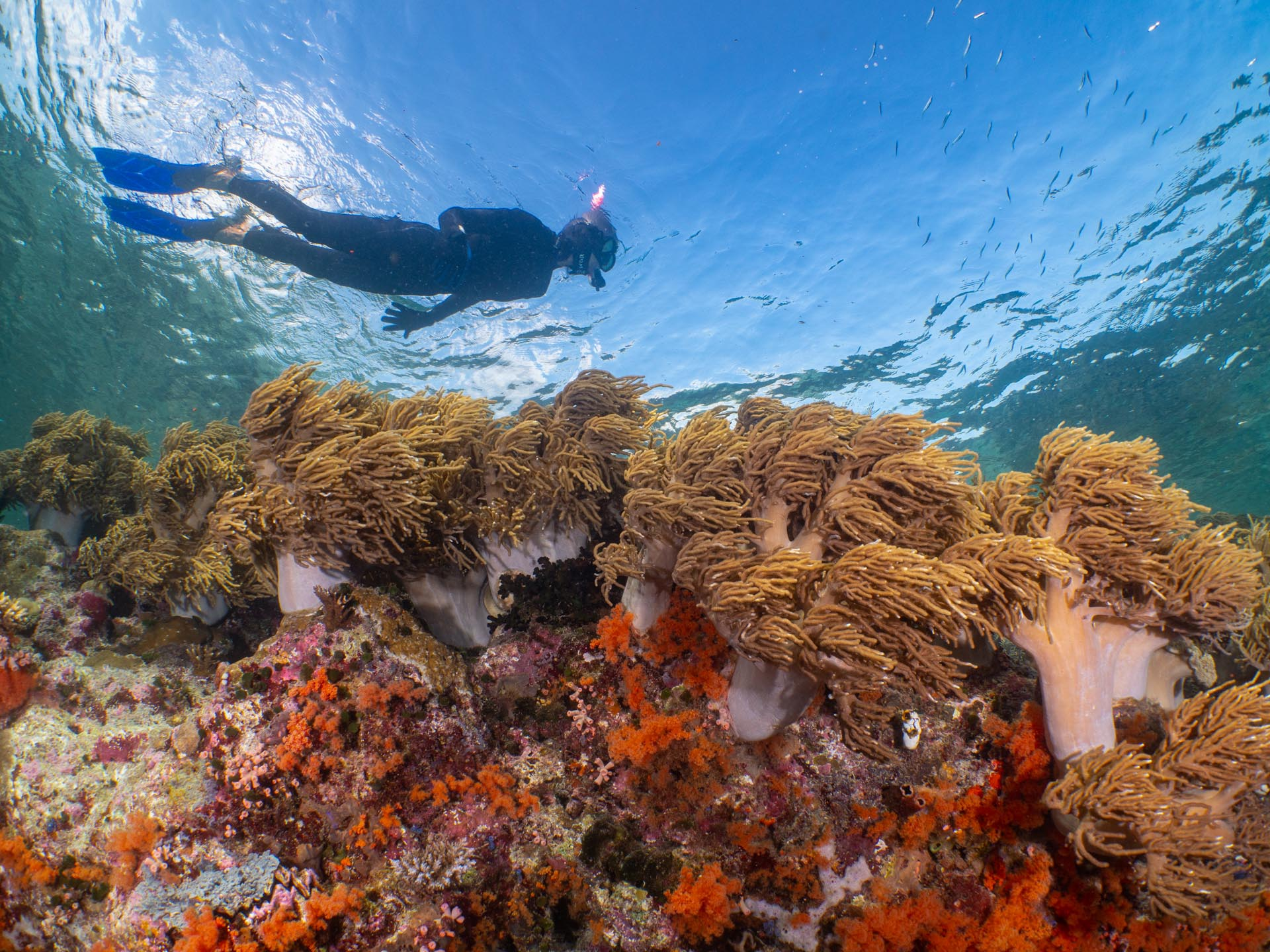 beautiful soft coral in Wakatobi with snorkeler