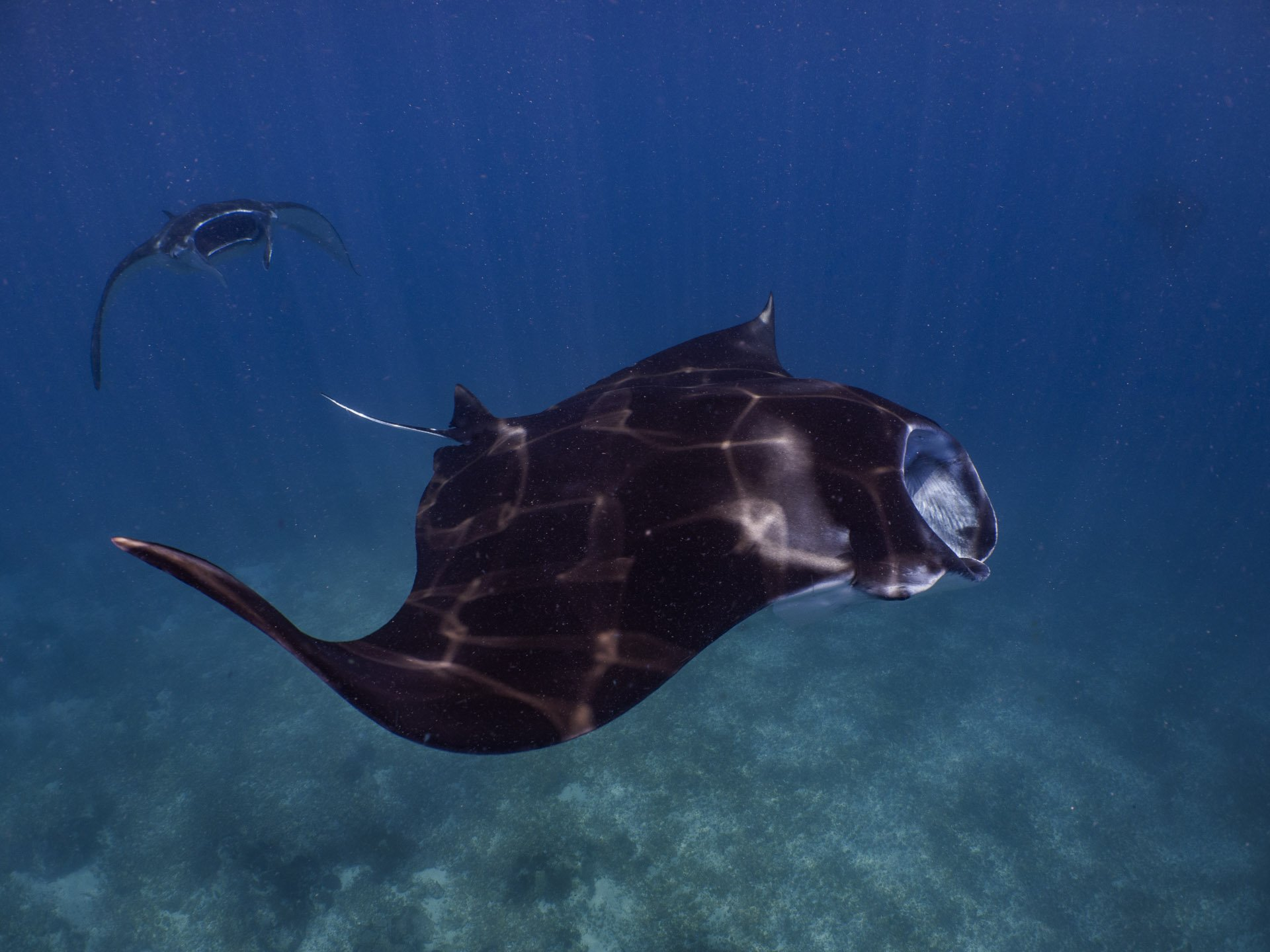 Two manta rays swimming