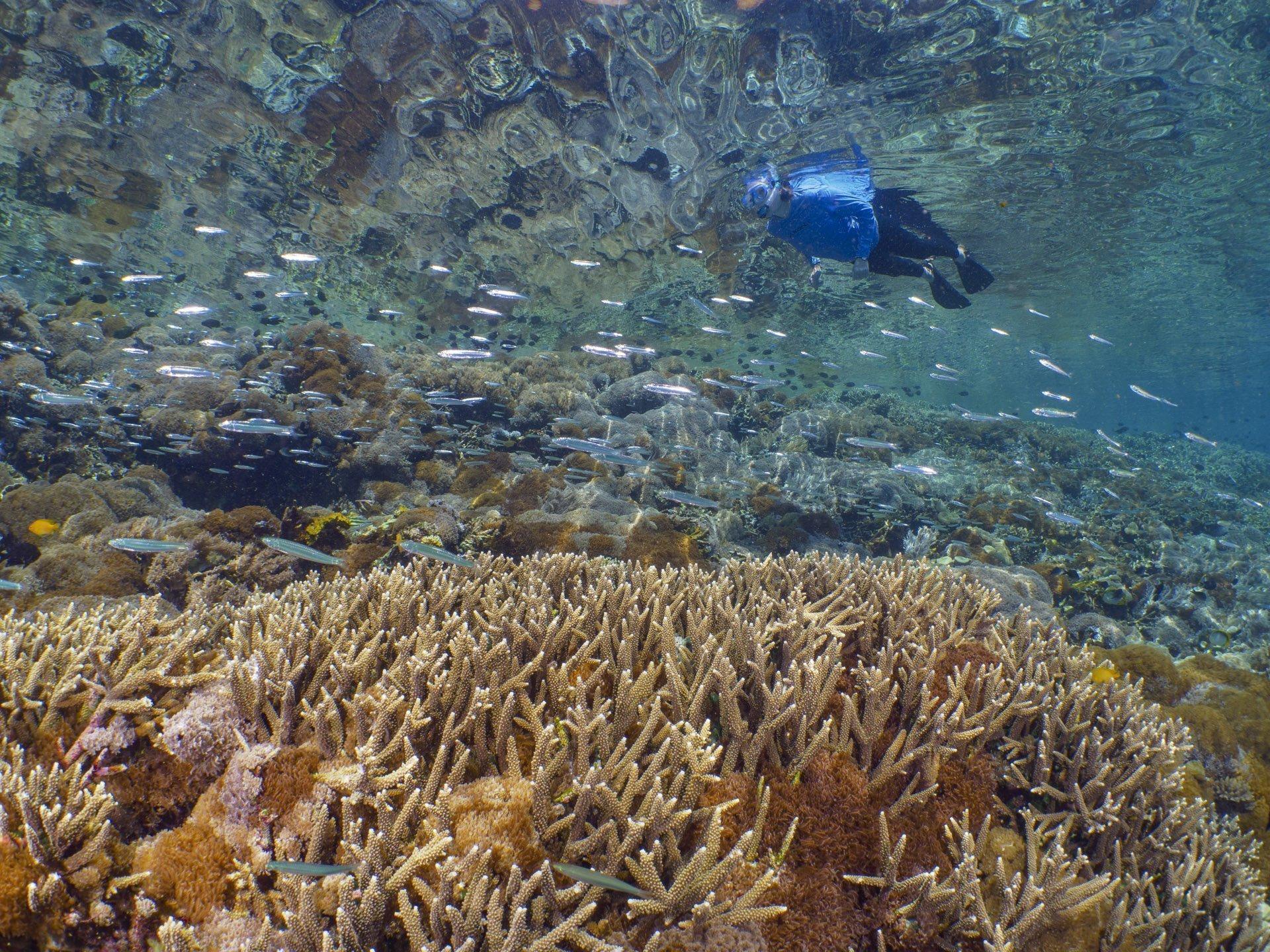 Snorkeler exploring pristine reef in Komodo