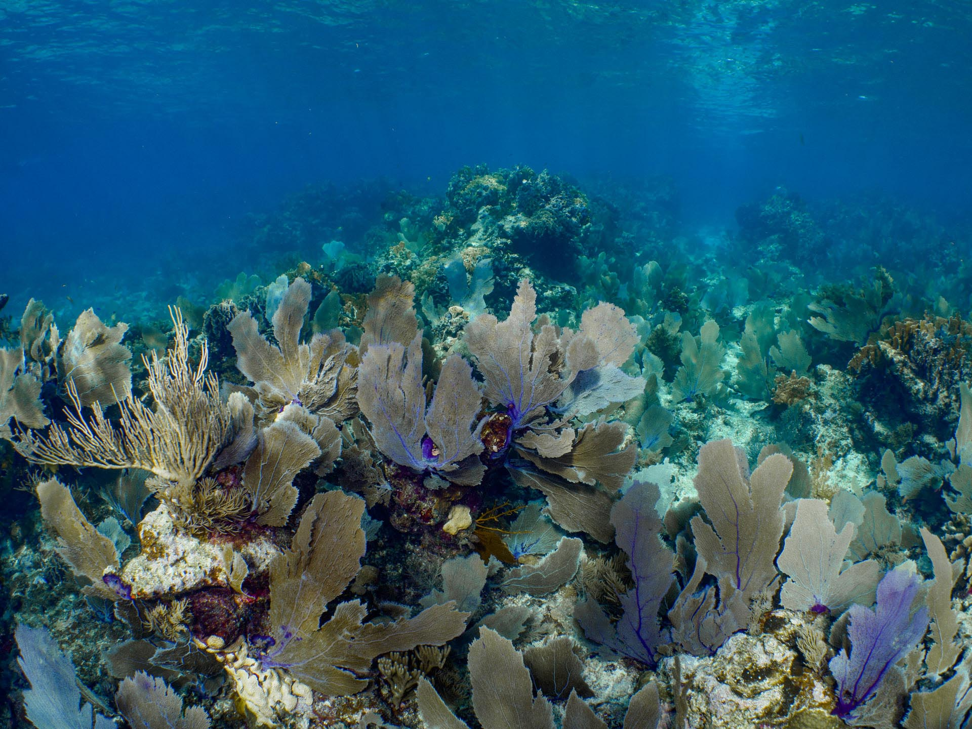 Soft coral and sea fans in caribbean
