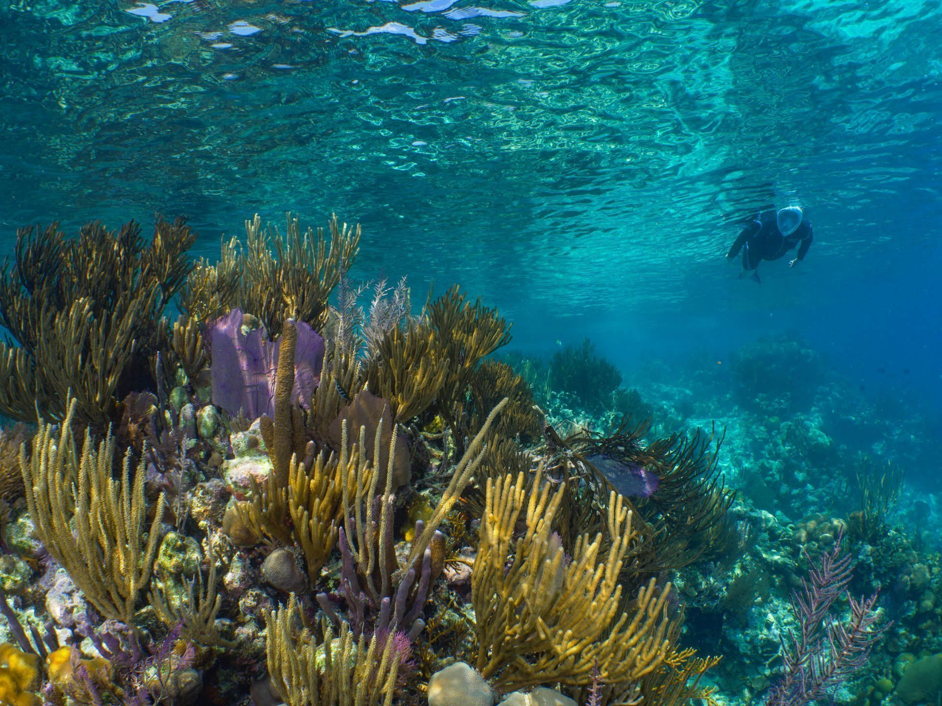 Caribbean reefscape with snorkeler above