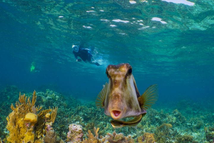 Cow fish swimming right up to the camera with snorkeler behind