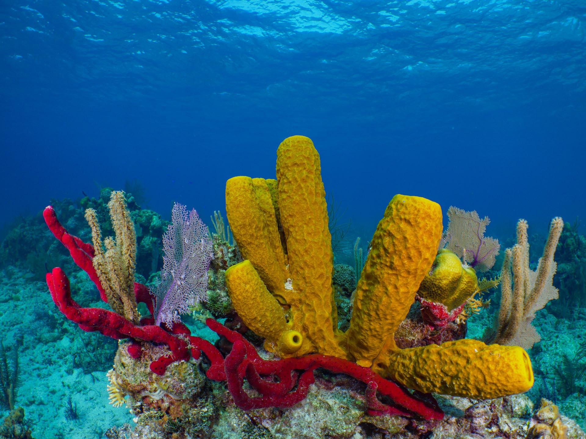 Yellow sea sponge un Caribbean