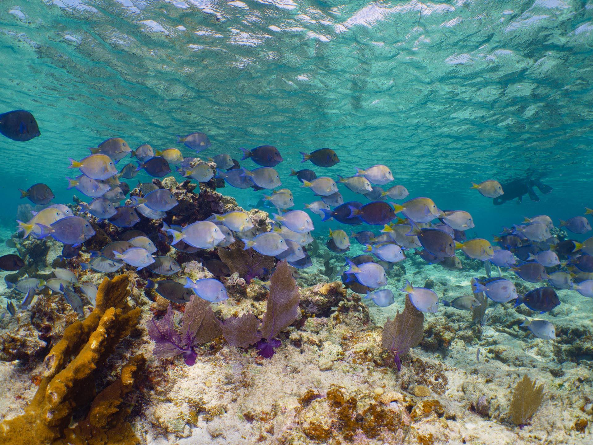 Surgeon fish schooling over reef