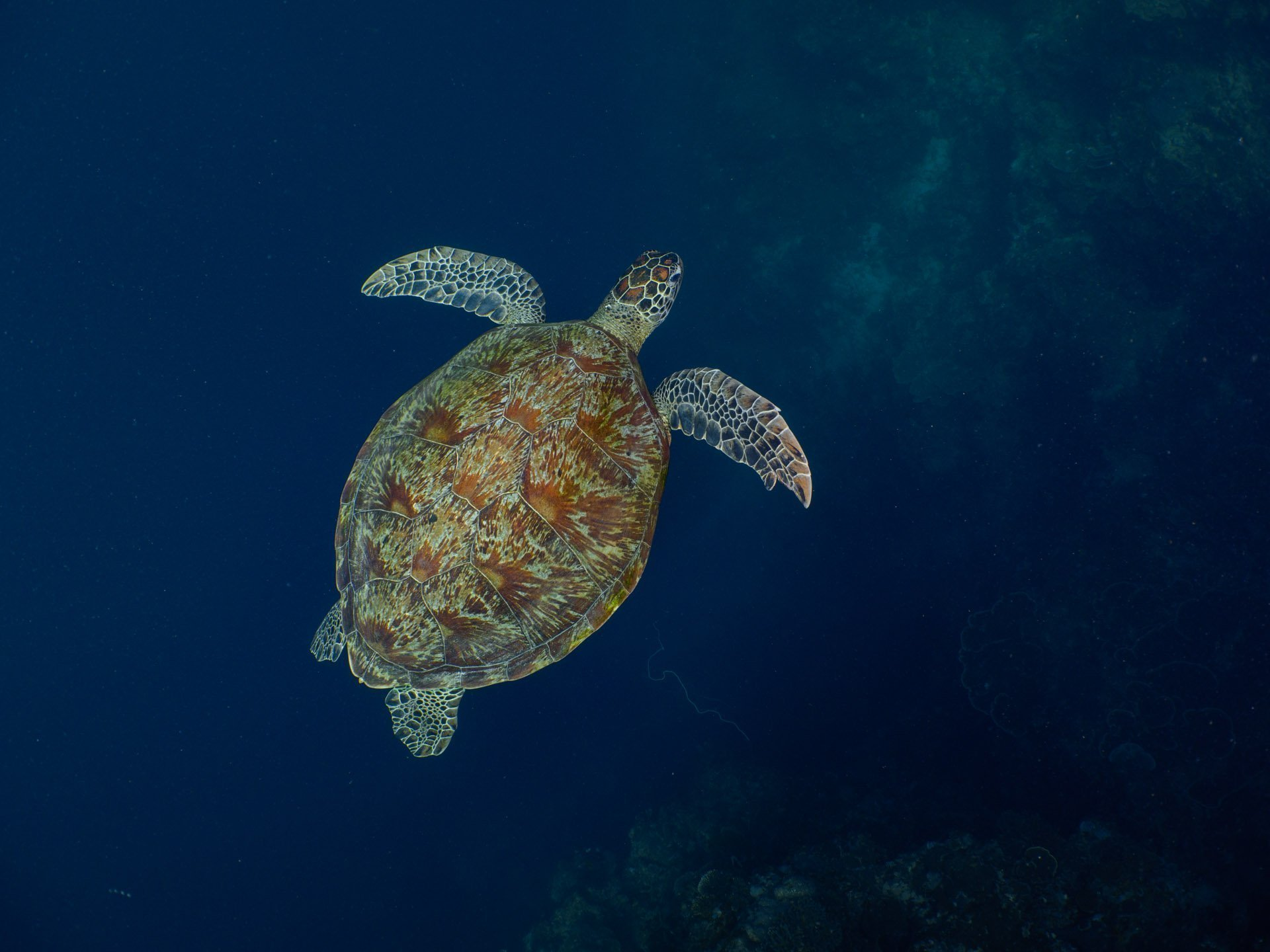 Green sea turtle swimming over deep blue water