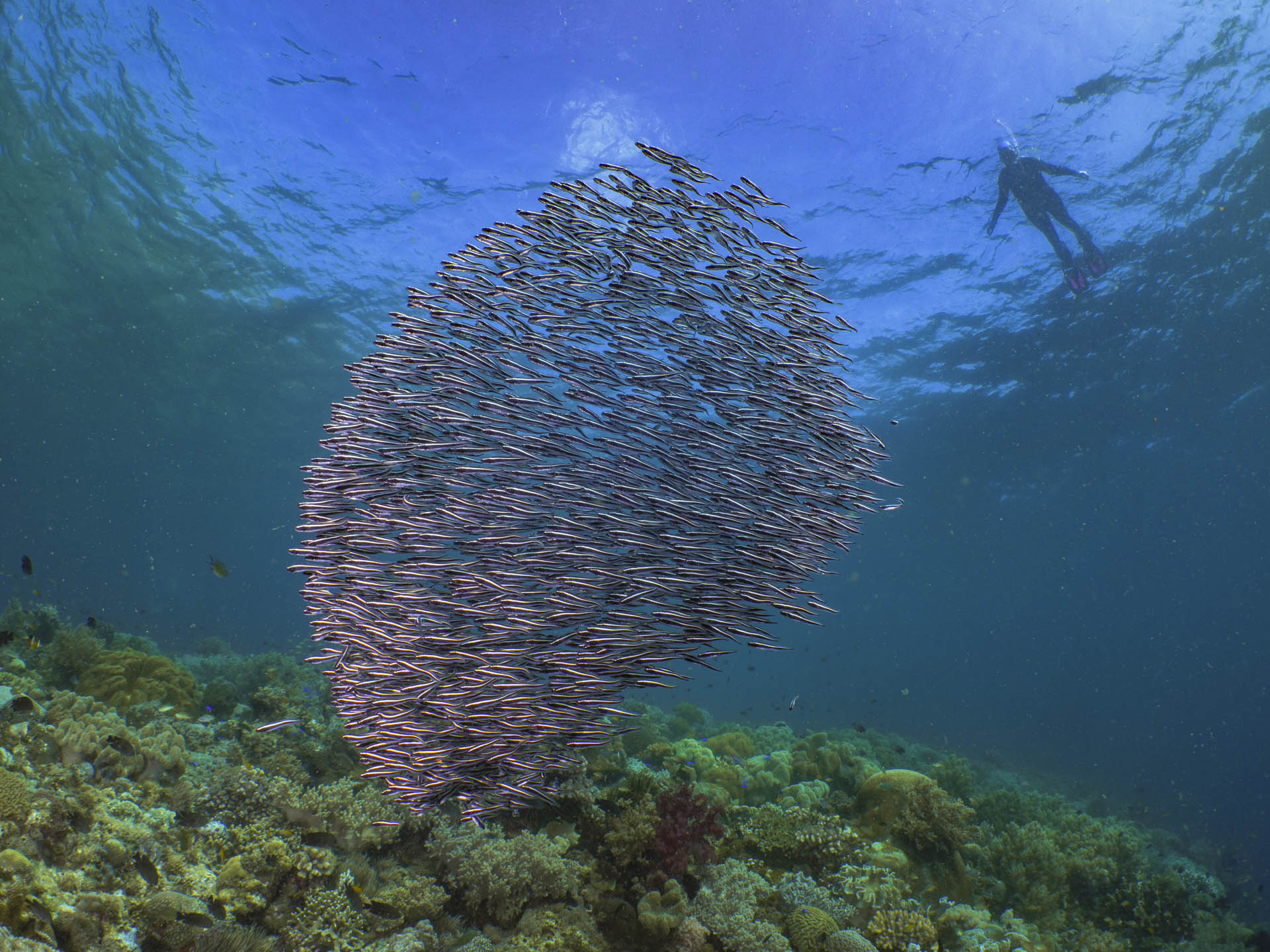 Snorkeler watching a school of striped cat fish