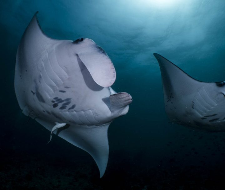 two manta rays with sun behind