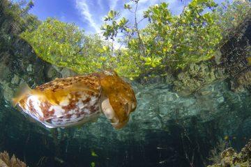cuttlefish below mangroves