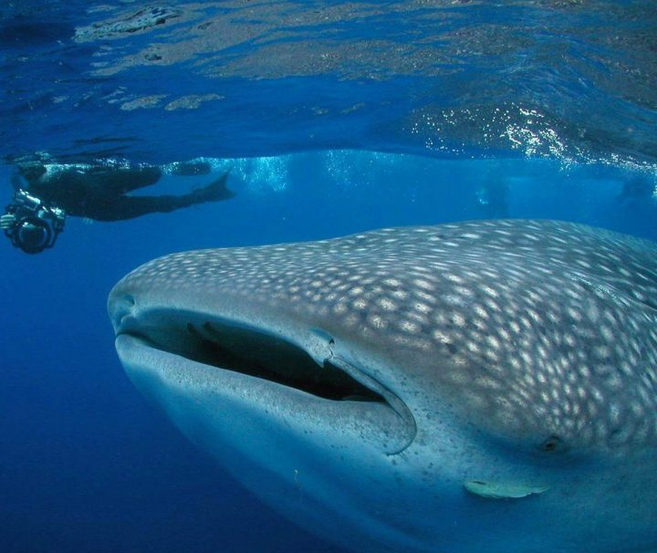 whale shark with snorkeler