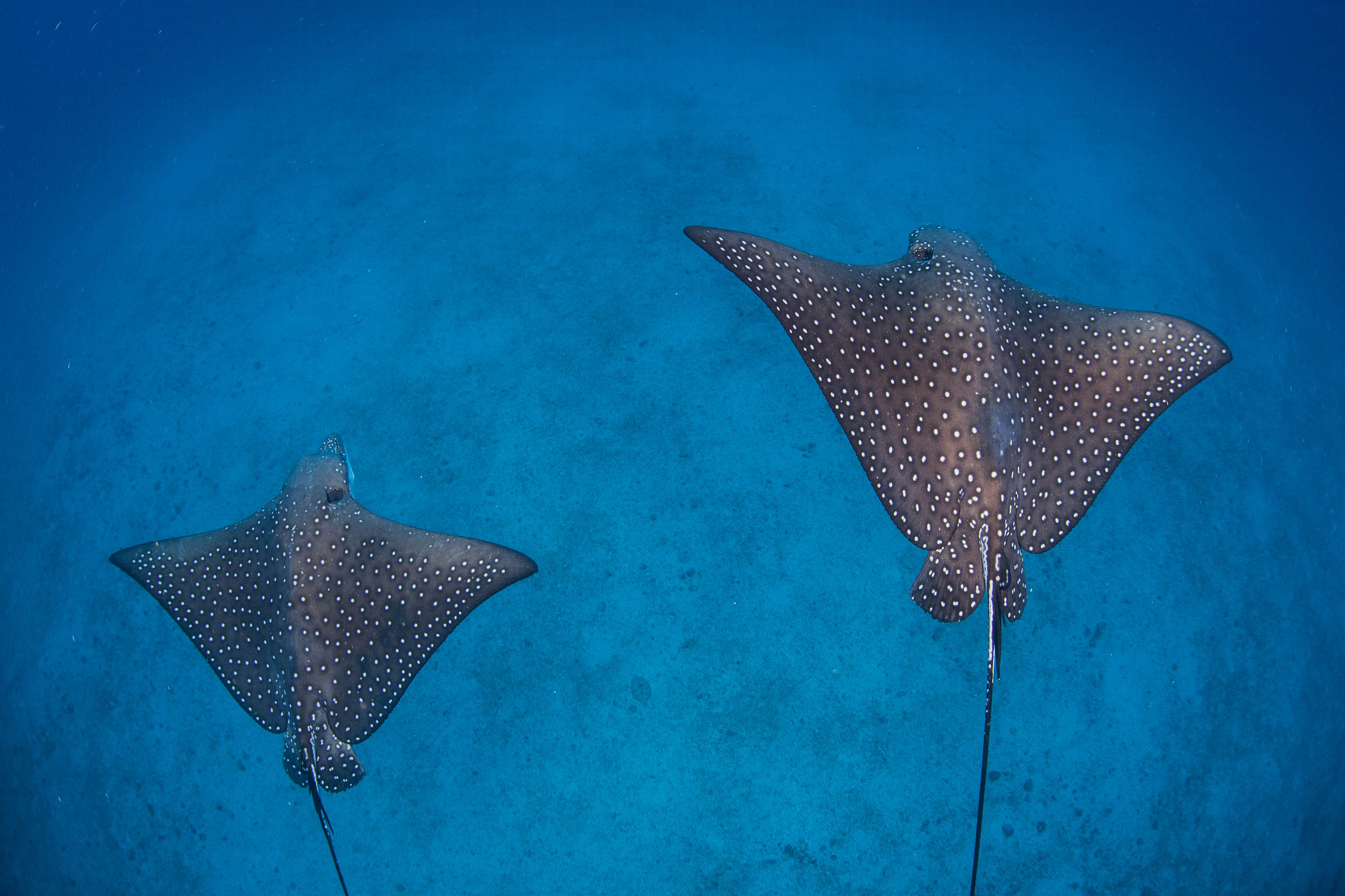 2 eagle rays cruise over white sand