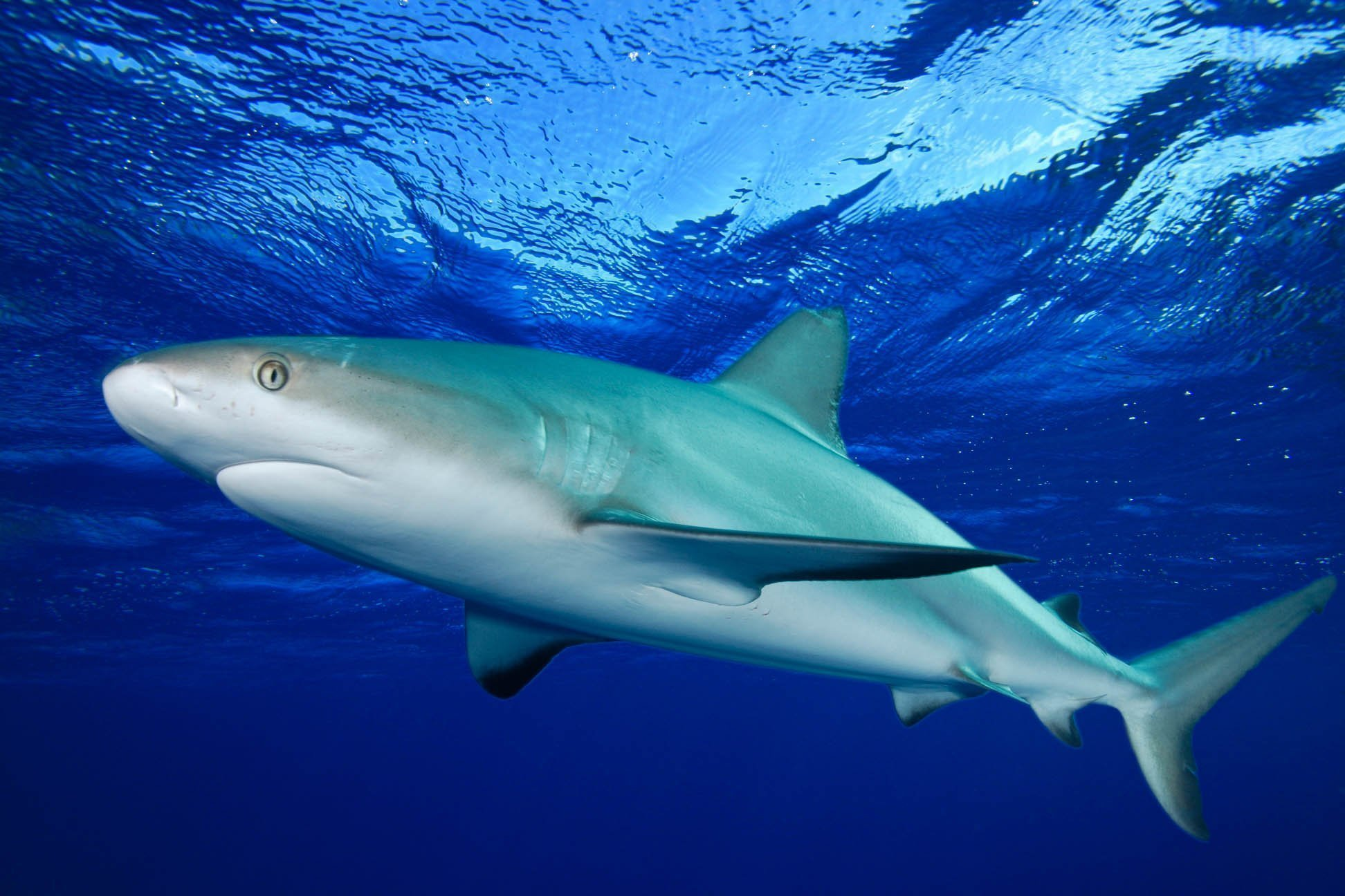 grey reef shark on the surface