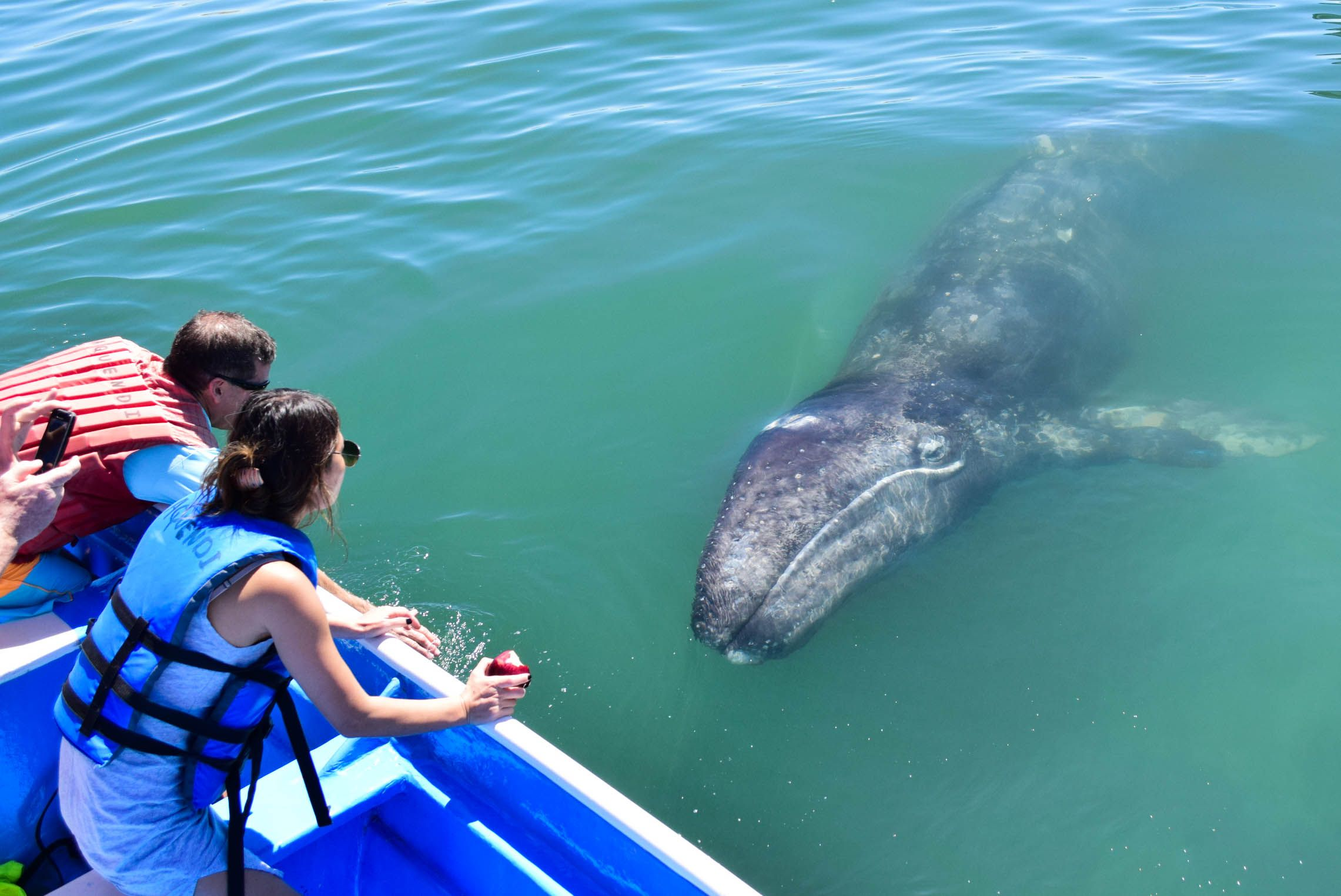 gray whale approaching people on boat