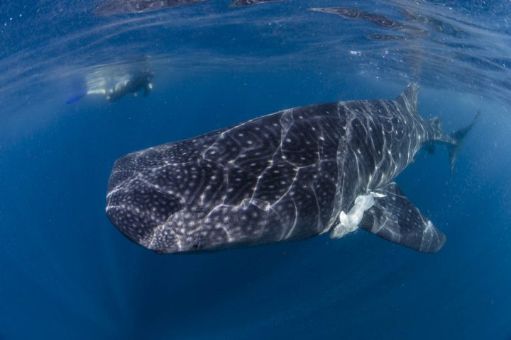 whale shark swimming next to snorkeler
