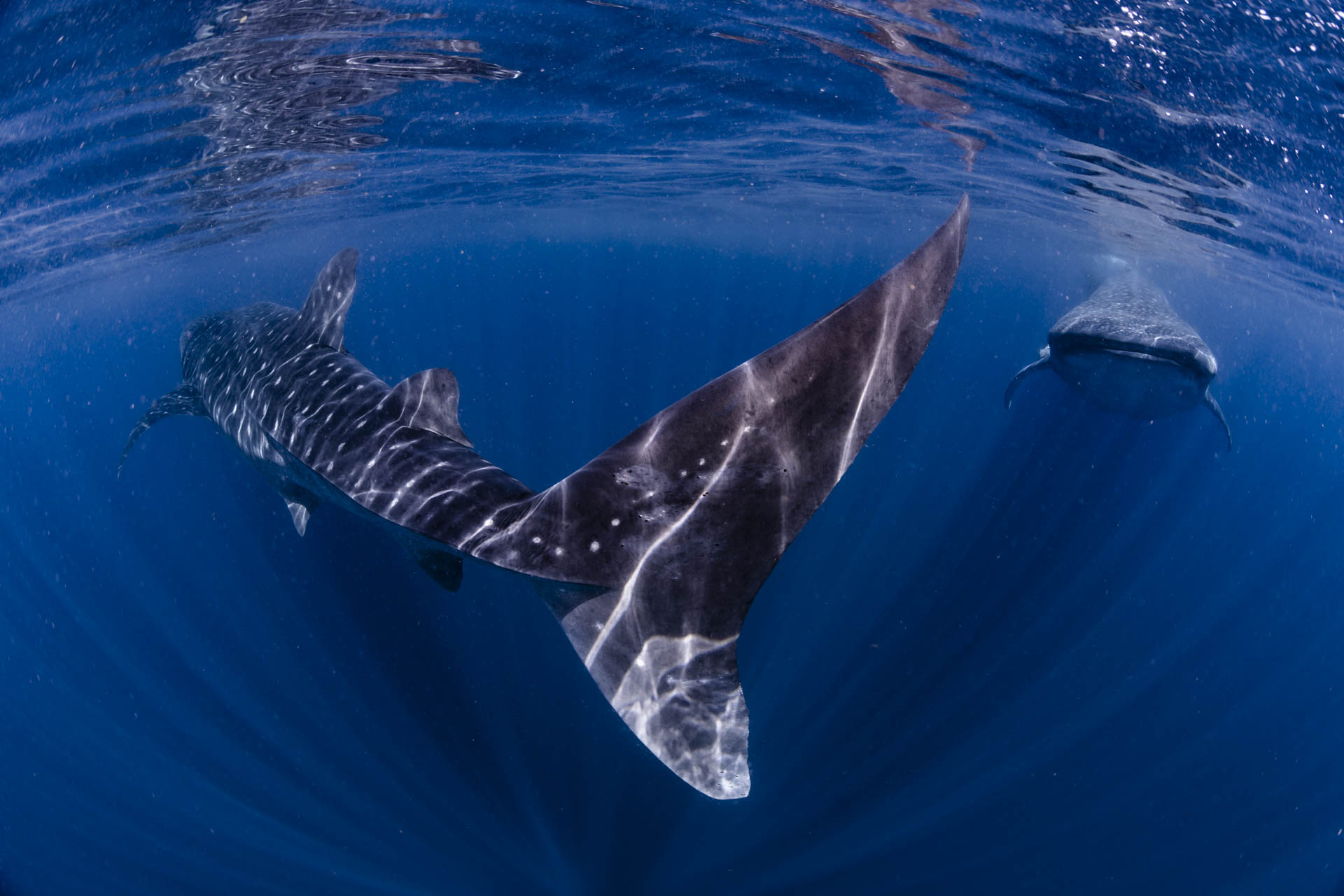 two whale sharks feeding on the surface