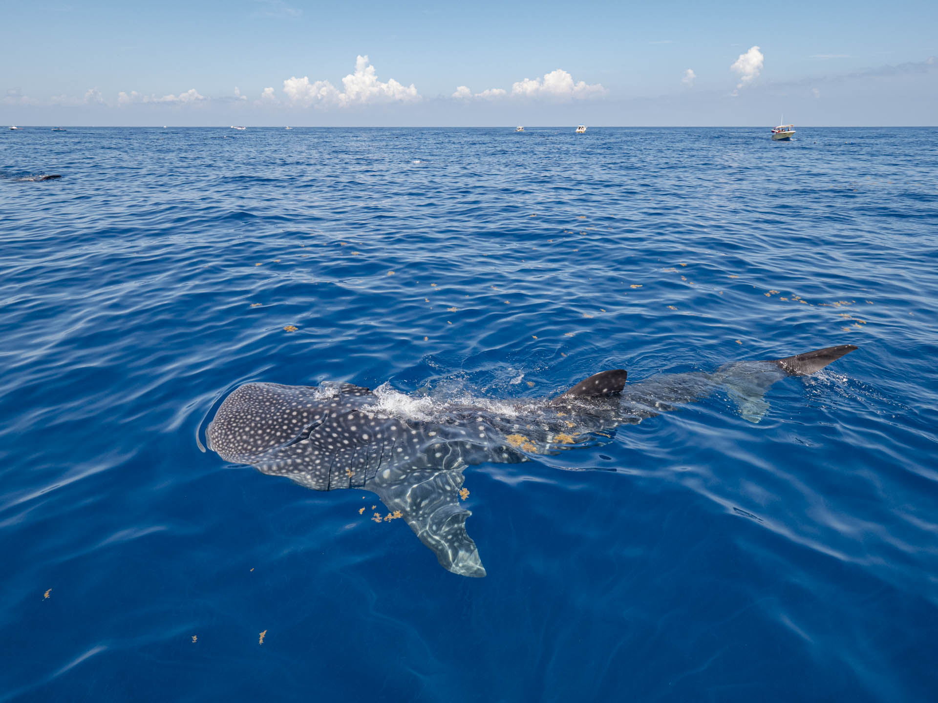 whale shark swimming on the surface