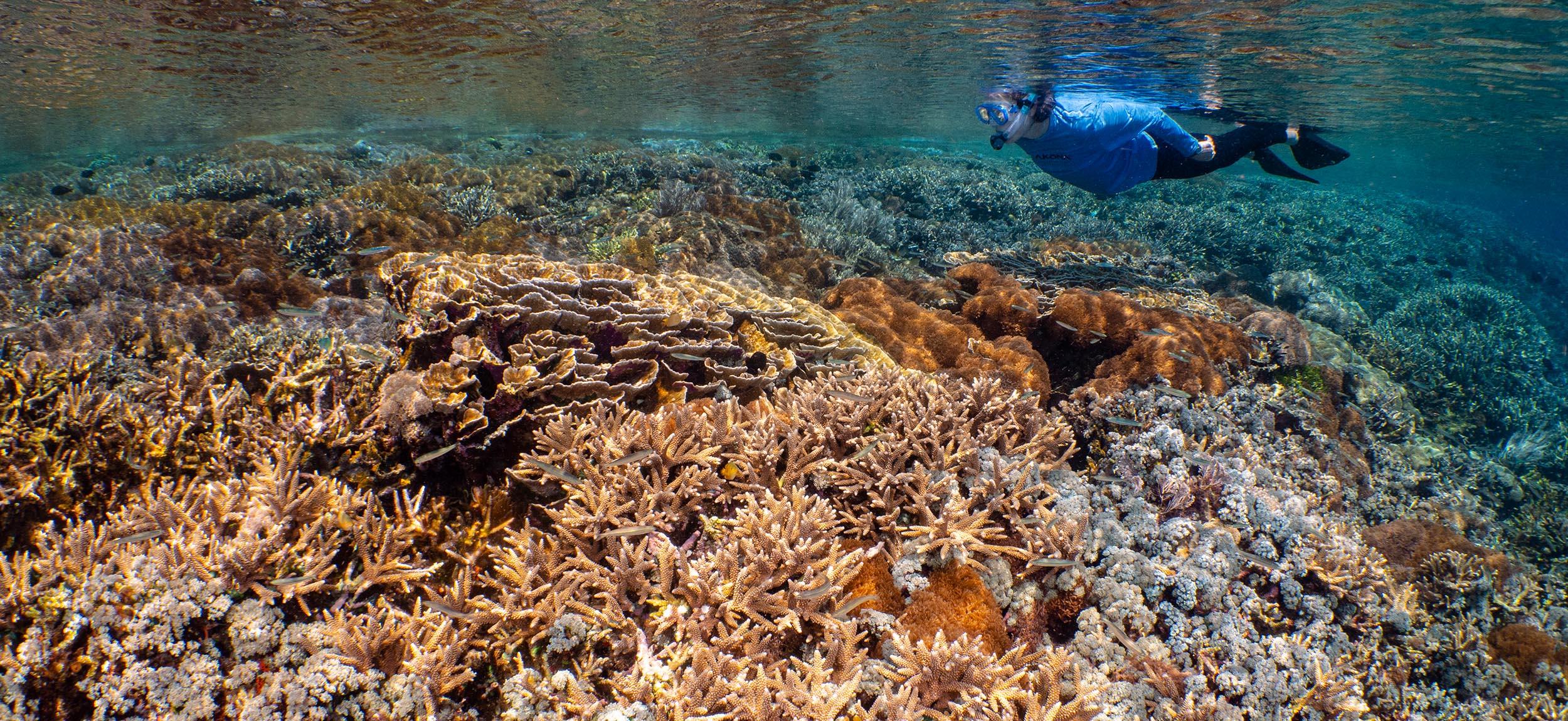 Snorkeler over hard coral reef