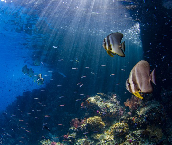 bat fish with beautiful reef and sun rays behind