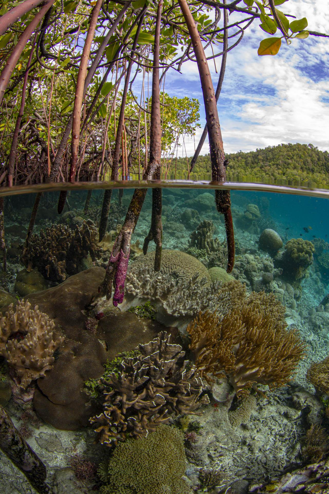 Mangrove scene with coral reef below
