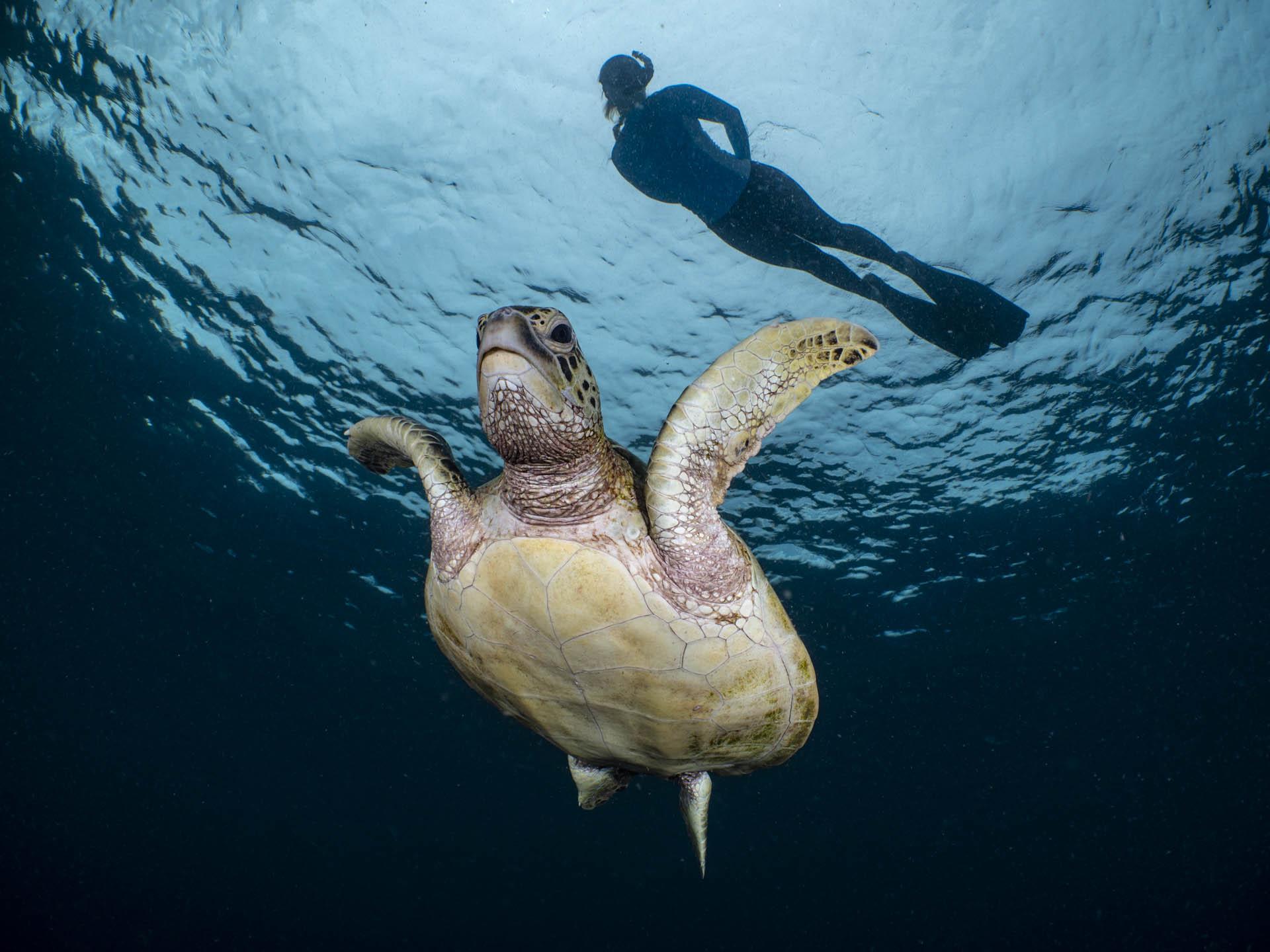 snorkeler floating above green sea turtle